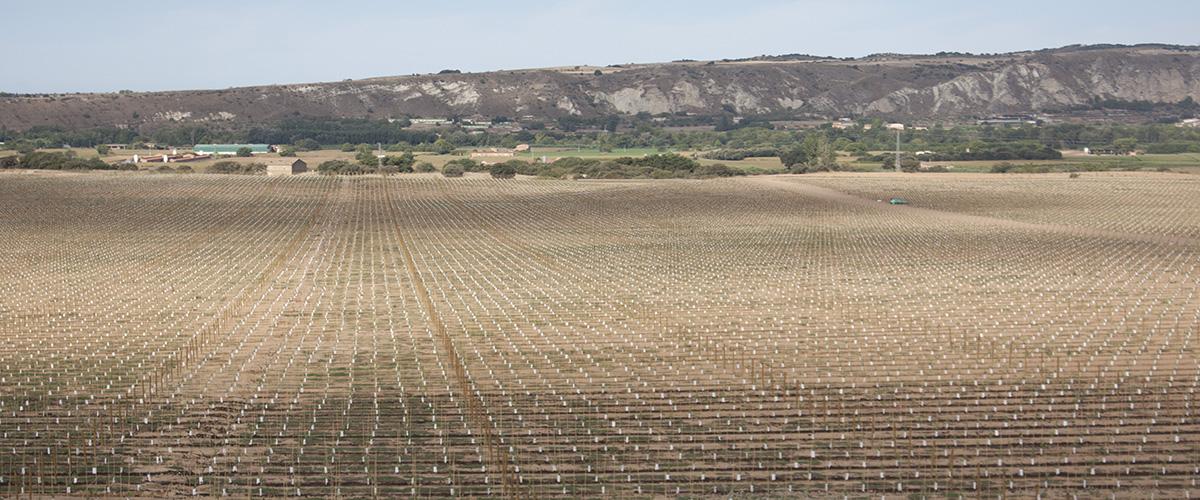 Plantació intensiva ametllers Balaguer